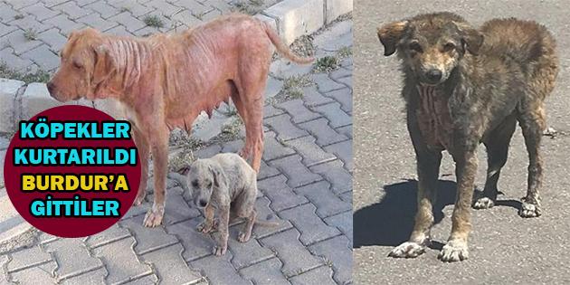 Burdur'dan Dinar'a Geldiler, Hasta Köpekler Tedaviye Götürüldü